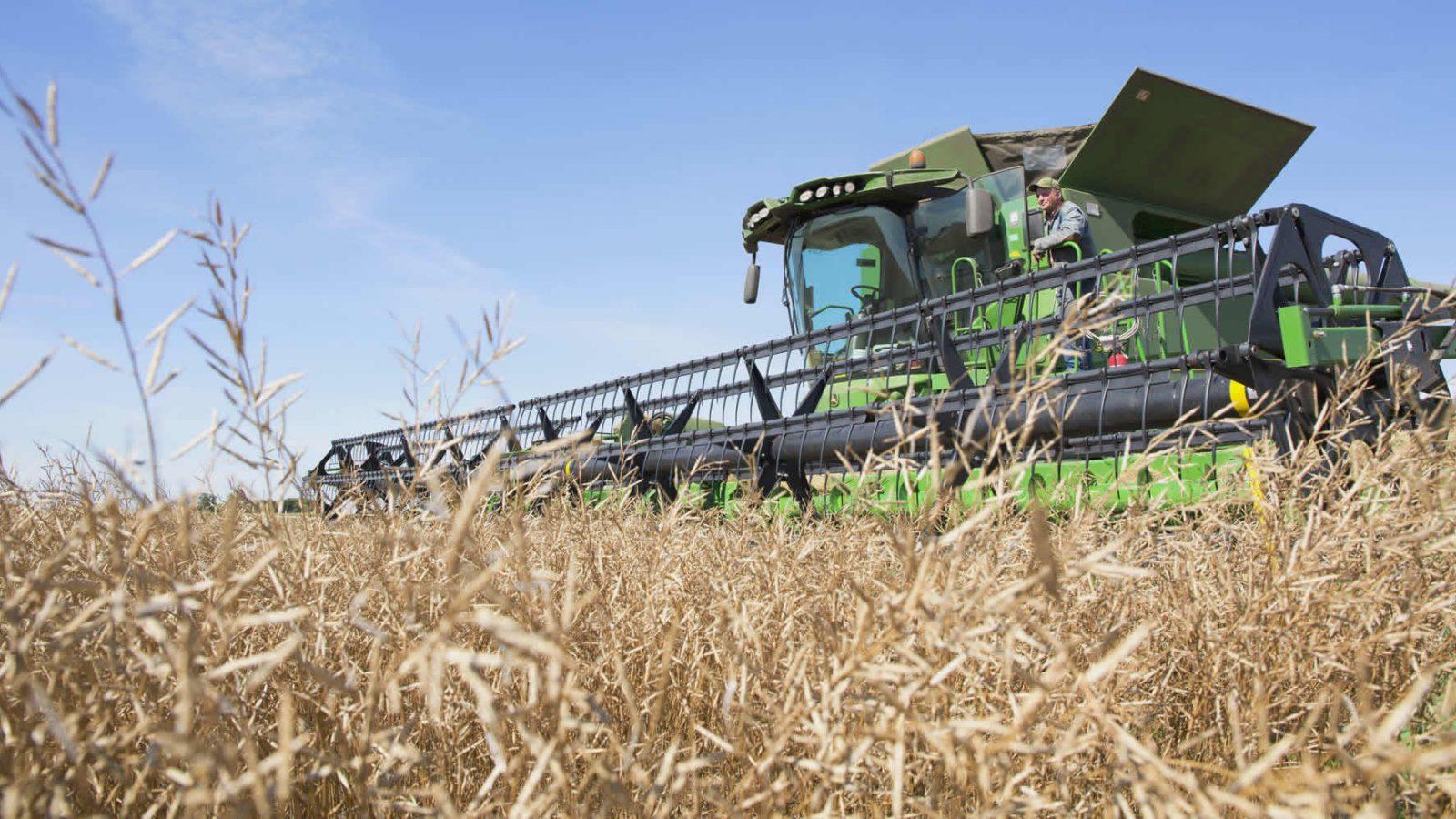 Harvesting Mustard crop